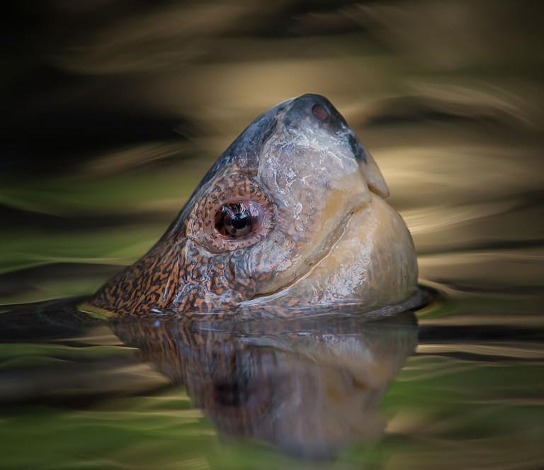 768px-Turtle's_Head